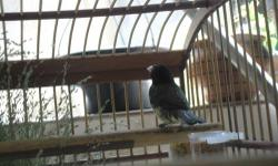 I have the following birds for sale Cabecita negra negritos de cuba seedeaters tomeguines green singers european greenfinch and more song birds from spain.If intrested please contact me at 305-496-8045 or visit www.facebook.com/jungle