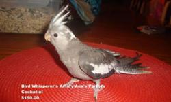 We have Cockatiels! $150.00 a baby with a $50.00 deposit. We can DNA the babies for $15.00 extra. We sell Good Quality Cages for these babies also for $80.00! So for $230.00 you can have a baby cockatiel and a brand new cage for your baby! Location