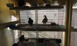 """Cage with 6 Pigeons $200.00 pigeons ( buchonas ) 954-283-6772 the cage has eight spaces the cage has been used , but is in good conditions , like new , tray included 40 1/2"""" wide 64 1/2"""" high the size of each hole is ( 16 1/2"""" x 20"""" )"""