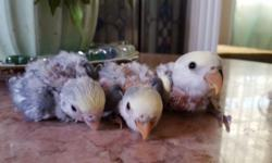 selling proven pair of love birds with cage and nest price $200 call or text 818 854 2929..hablo español
