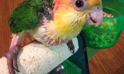 We have caiques! Northeast pa 18058. We also ship! We DNA for $25! Any questions please message Me. Thank You! https://www.facebook.com/PoconoAna we Ship United pet safe. Thank you!