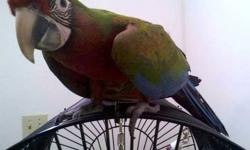 Female calico macaw. Will be two in June. Healthy. Full feathered. Hand raised. Must have your own cage.