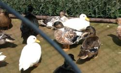 Call ducks (mini ducks 2.5 lbs) mallard colors , blue bibbed mixed female , east indie pair. 30.00 each or 50.00 pair very small , good quailty , some have been entered in poultry shows. I have a few snowy ducklings , a blue bibbed and a grey. (Mallard