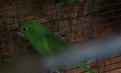 1 pair of canarie wing parakeets for sale $150 for the pair u can text or call at 805 766-6795 This ad was posted with the eBay Classifieds mobile app.