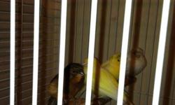 Hi i have pair a breeder of red facto,white meal crested and couple young birds contact Nicolas @(619) 992-20 48. Am asking $60 for meal and $55 for female or $100 for pair.thanks This ad was posted with the eBay Classifieds mobile app.