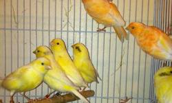 Hi have all kinds of canaries male and female over than one year and two years old am asking about $100 for pair or $55-60 each if you get more than two pairs I will give a better deal call nick @(619) 997-5293.thanks hablo espaniol tambien This ad was