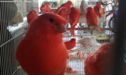 I have plenty of canaries for sale. Some young and some adult. Fifes, Red Factors and Crested Red factors, Phaeos, Mosaics, Crest or Crestbred, Staffords, Opals and Brown Pastels. I am not a broker. I breed most of these and sell for my uncle as well. I