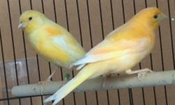young canaries for sale all we selling this year singles or pairs 75.00 each .....young and great singers