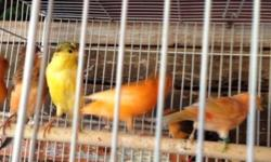 10 Canaries were born this year red factors,rollers and temperados call Nicolas @(619) 997-52 93. Habla español también This ad was posted with the eBay Classifieds mobile app.