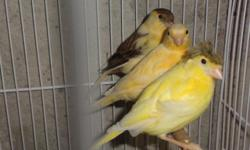 I have some males and females canaries. only $40 each. For more info text 224-577-5535. Se habla español.