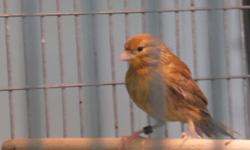 Hi I have 2 young canaries that were hatched out Feb.20th of this year.They are eating well on their own and are separated from the parents.Dad is a proven singer.All are very healthy birds.The one with the more yellow on it I think is a male,he is