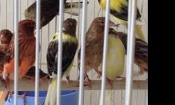 Hi i have about 25 canaries mix rollers ,browns,and temperados couple months old call nick @(619)997-52 93. You must see them hablo espaniol tambien This ad was posted with the eBay Classifieds mobile app.