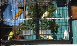 """Down sizing Canaries and cages (Male & Female Yellow) $35.00 each or both for $65.00 price is firm Costumized breeder 36"""" wide X 44"""" high = $40.00 all prices are firm"""
