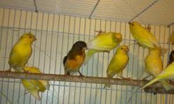 I have about 16 canaries meals and females am asking for $60 each if you want them all it will be cheaper and the pair of finch with them cage am asking and seeds $125 please call me if interesting @(619) 992-20 48. Nicolas hablo espaniol tambien pick