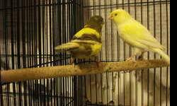 Reducing my Collection of nice Quality Spanish Timbrado canaries Males and Females Available, Fee reduced if taken more than 4 Canaries.