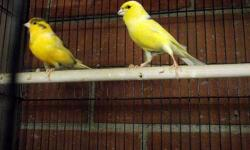 I need to reduce some extra canaries to free up cages for the baby birds growing up. $40 each, they are ready, singing male $50/each, breeding pair $110/pair. Please bring your own cage.