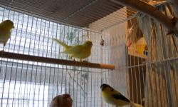 BEAUTIFUL CANARIES. THIS YEARS BABIES. COLOR FACTOR: REDS, YELLOWS, VARIGATED, STAFFORDS, GLOSTERS. PRICED FROM $35. TO $75. STATE LICENSED BREEDER. YOU MUST BRING YOUR OWN CARRIER OR CAGE.