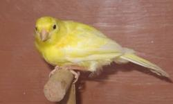 Canaries birds need a good home American Singer Cinnamon agate Variegated /bronze Melanin Agate Bronze All young birds and some from late last year. Asking price is $50.00 each Contact : (408) 513-5949