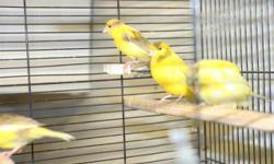 I have maybe 6~7 canaries up for sale, the price is $45 and up for one canary. contact me at 212-290-0090 and ask for Bobby, or simply reply this AD Thank you.
