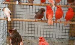 Canaries for SALE or TRADE DIFFERENT COLORS AVAILABLE CALL FOR MORE INFORMATION!! Canarios de venta o para Intercambio VARIOS COLORES DISPONIBLE LLAMAR PARA MAS INFORMACION!!!