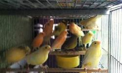 Hi I got several canaries ready to breed about 20 temperado,water slogger and red factor if you get more then one pair I will give a good deal call Nicolas @(619) 997-52 93. Hablo rspaniol tambien thanks. This ad was posted with the eBay Classifieds