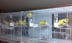 Canarios pichones ya estan empesando a cantar