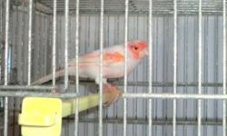 Tengo canarios de varios colores y especies. Tengo macho y embra. Si tiene intres puedes llamarme y visitar mi pajiga del red: http://americansingerbirds.com