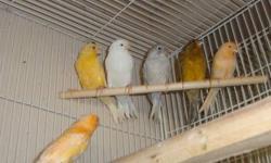 tengo 15 canarios de venta diferentes colores blancos,anarangados, hembra y machos $50 cada unos obo para mayor info llamar (818)979-5894