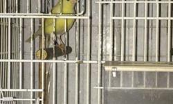 Canarios listos para reproducir. Pichones de la temporada pasada listos para aparear. Para alguna pregunta referente a los canarios por favor contactar a Rey 786-487-7524 / 7864871232.