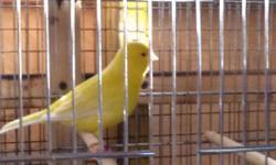 Canarios amarillo rojo bronce para la venta 30.00 cada uno llamar 305-709-7269 Ernesto