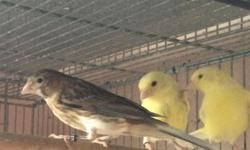 Vendo canarios timbrado español interesados llamar al (305) 632-8526