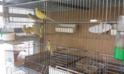 Canarios Timbrados com buena linea de canto y listo para cria, con buen pedigree.