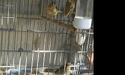 Son 4 canarios timbrados no se su sexo nacieron en marzo