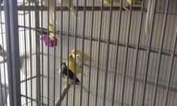 Vendo canarios timbrados españoles pichones de color verde, amarillo, pio, vaquitas, cinamon y blancos desde $25 a $40 en dependencia del color, mas informacion llame a 786-873-0096.