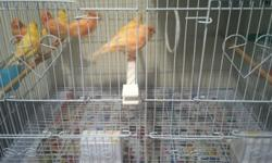 Hi here are my Beautiful canaries birds for sale yellow and orange $50-$65 for each male and female please contact me on my number for serious buyer only (619)768-3124 . This ad was posted with the eBay Classifieds mobile app.