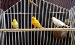 I'm selling all my Canary bird ,cages, apartment cages, all come with feeders ,water tubes I have bags of canary food with vitamin in it I been a breeder for many years But I have to go in the hospital and from what I'm told 7 months to a year and half
