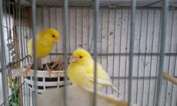 I have 4 show quality canary breeding pairs for rehoming at $80/pair 1 pair of yellow irish fancy 1 pair of green gloster 1 pair of green and cinnamon gloster 1 pair of fife fancy All are just paired up and ready to breed I also have used divided breeding