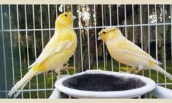 We have some remarkable canary breeding pairs that we are releasing to the general public. They won't be available long. Please respond quickly. We deliver right to your front door. Please respond if you would like us to deliver one or two pairs to your