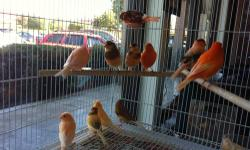 I have 25 canaries. They are very healthy and been raise outside. Most of them are males and sing very good. I am living in San Jose and work in Santa Cruz so let me know I can bring them to you. Please text or call Dan 408-674-1108. N?u là ng??i Vi?t s?
