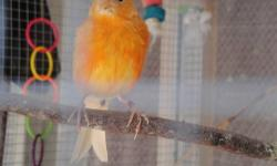 I have a selection of canaries for sale, male and female.Many colors, healthy. Price is $35 and up each .(depending on color). Beautiful and variety of colors: white, oranges and yellows , red factor Spanish Timbrado. All of them are ready for breeding;