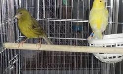 A proven pair if canaries for sell or trade for parrot finches. Both canaries have closed bands. Have any questions please feel free call or text me at (786) 269-8369 my name is Jarvis.