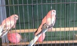 We have the bird you're looking for: Canary, Lovebirds, Parakeets, Finches, Cockatiels, and many more Exotic Birds... We guarantee the lowest price in town!! Come and visit us at : Arrieros Pet Shop 2550 Imperial Ave San Diego, CA 92102 619-677-3269