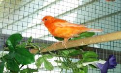 Beautiful Red Factor Canary - (orange) Great singer! along with a Large flight cage with variable lighting knob. I have just taken apart the cage, and my canary is in a smaller cage. This cage has been GREAT!! My house is too small though... The last