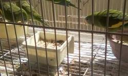 Canary Winged Parakeets about 2 and a half years old very healthy and active $250 a pair or trade for birds at equal value call 619-392-2895