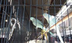 2 pairs of young Cape Doves. $95.00 per Unrelated pair. Great birds and comforting sounds
