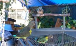 I'm paying cash for tamed parrots any kind or size send pictures and information about your feathered friend Will buy untamed male African gray Congo's Call or text 714 487 1462