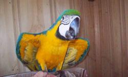 Beautiful baby catalina macaw. Still being hand-fed. It is about 9 weeks old. Will be ready to go in about 10 weeks or so.