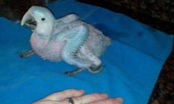I have three baby catalina macaw's available. They are 5 weeks old, 3 months old and 4 months old. They are adorable. You can pick up at any time. The younger two are still spoon feeding. Please call Vicki at 443-835-0937 for further information.