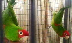 Selling my proven 5-6 year Old cherry headed conure pair with cage, nest box and DNA certificates. They are fantastic birds and great parents. Had 3 babies weaned in August. Pair is in perfect health- veterinarian owned. Asking 700 or the pair with set up