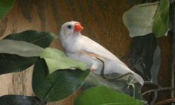 Beautiful chestnut flanked white male (pictured)-- hatched 8/28-9/3/13. Likes to sing. $12, located 2 miles east of New Paris.